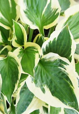 Photograph - Green With White Hosta by Rachel Munoz Striggow