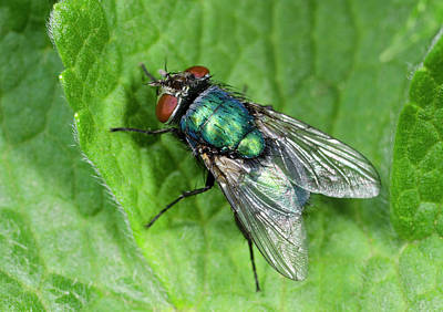 Caesar Photograph - Greenbottle by Nigel Downer