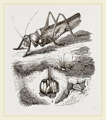 Cricket Drawing - Greenfield-cricket by Litz Collection