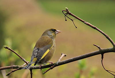 Greenfinch Art Print by Peter Skelton