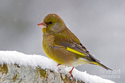 Pinion Photograph - Greenfinch by Torbjorn Swenelius
