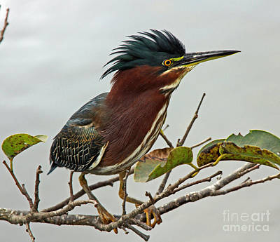 Audubon's Green Heron Art Print