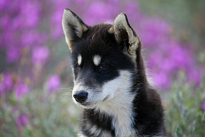 Municipality Photograph - Greenland, Sisimiut, Young Husky Dog by Aliscia Young