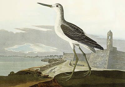 Castles Drawing - Greenshank by John James Audubon