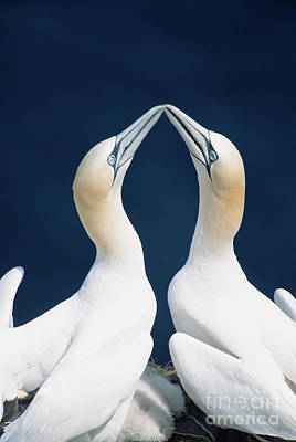 Photograph - Greeting Gannets Canada by Yva Momatiuk John Eastcott
