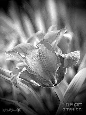 Photograph - Greigii Tulip Named Red Riding Hood by J McCombie
