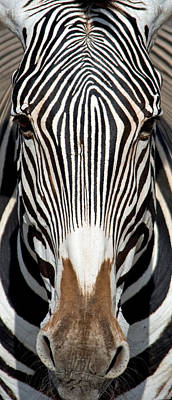 Animal Themes Photograph - Greveys Zebra, Samburu National by Panoramic Images