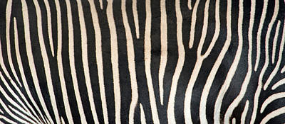 Greveys Zebra Stripes Art Print by Panoramic Images