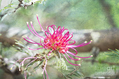 Photograph - Grevillea by Linda Lees