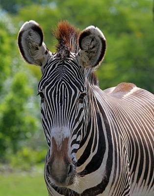 Photograph - Grevy Zebra by Davandra Cribbie