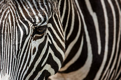 Photograph - Grevy's Zebra 4 by Arterra Picture Library