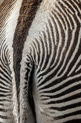Photograph - Grevy's Zebra 5 by Arterra Picture Library