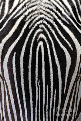 Designs In Nature Photograph - Grevys Zebra by Craig K Lorenz