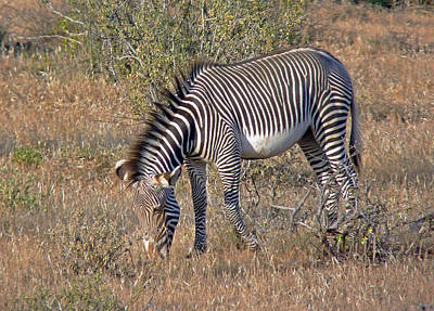 Photograph - Grevys Zebra by Tony Murtagh