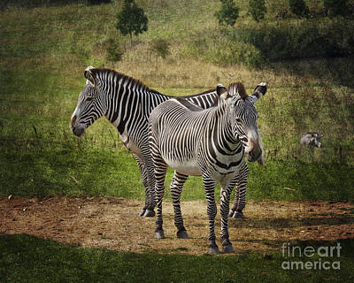 Photograph - Grevy's Zebras by Terri Waters