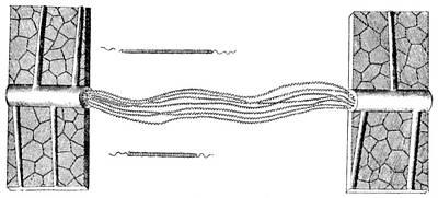 Photograph - Grew: Plant Anatomy, 1682 by Granger