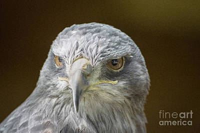 Monochrome Landscapes - Grey Buzzard Eagle by Keith Thorburn LRPS EFIAP CPAGB