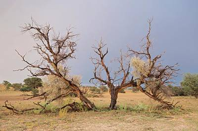 Grey Camelthorn Tree In The Auob Riverbed Art Print by Tony Camacho