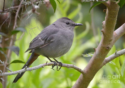 Photograph - Grey Catbird by Kathy Baccari