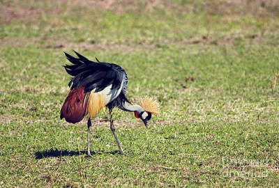 Animal Photograph - Grey Crowned Crane. The National Bird Of Uganda by Michal Bednarek