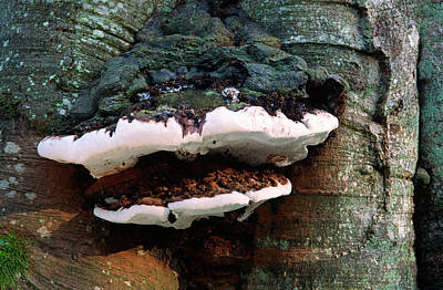 Bracket Fungus Photograph - Grey Fire-bracket by Nigel Downer
