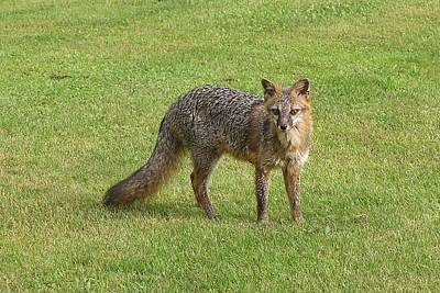 Photograph - Grey Fox by Lucinda VanVleck