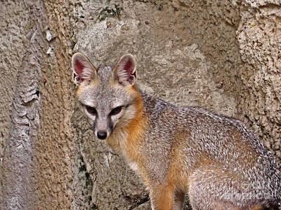 Fox Digital Art - Grey Fox Portrait by Ella Kaye Dickey