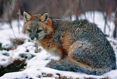 Grey Fox Art Print by William Ervin/science Photo Library