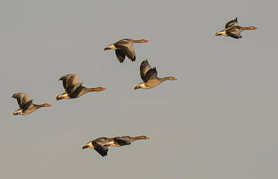 Photograph - Grey Geese by Michael Mogensen