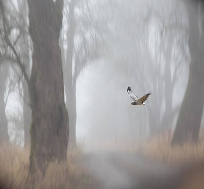 Harrier Photograph - Grey Ghost by Angie Vogel