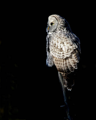 Great Grey Owl Photograph - Grey Ghost by Gary Langley