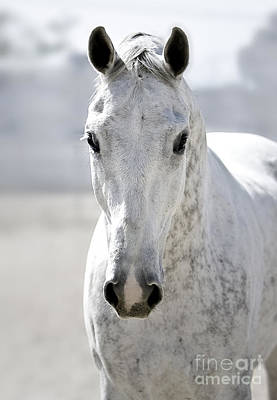 Bay Thoroughbred Horse Photograph - Grey Ghost by Holly Martin