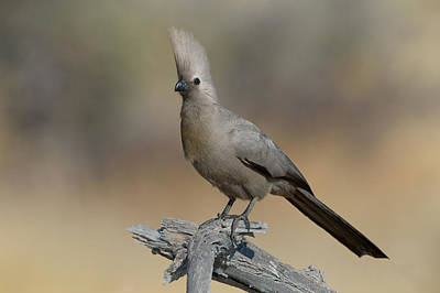 Go Away Photograph - Grey Go-away-bird Corythaixoides by Panoramic Images
