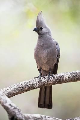 Grey Go-away Bird Art Print