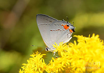 Photograph - Grey Hairstreak Butterfly by Kathy Baccari