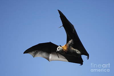 Grey Headed Flying Fox Art Print by Craig Dingle