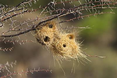 Grey-headed Social-weaver Nests Tanzania Art Print by Konrad Wothe
