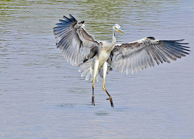 Photograph - Grey Heron About To Land by Chua  ChinLeng