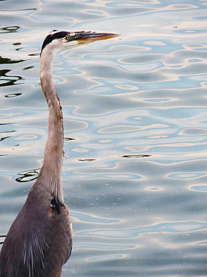 Photograph - Grey Heron By The Bay by Shawna Rowe
