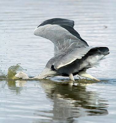 Animals Photograph - Grey Heron Catching A Fish by Bob Gibbons