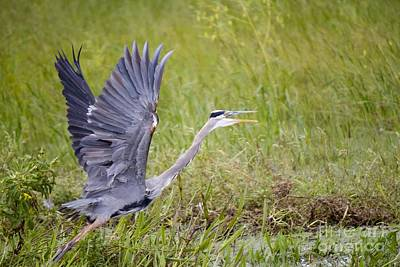 Photograph - Grey Heron by David Grant