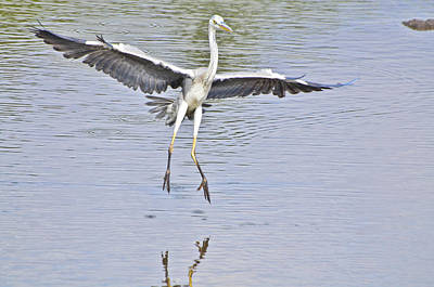 Photograph - Grey Heron Landing by Chua  ChinLeng