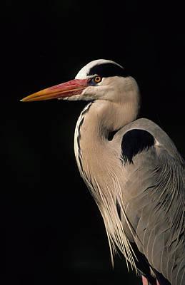 Photograph - Grey Heron by Nigel Dennis