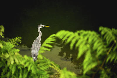 Photograph - Grey Heron by Property Of Chad Powell