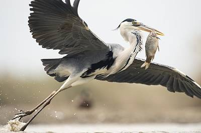 Legs Spread Photograph - Grey Heron With A Fish by Science Photo Library