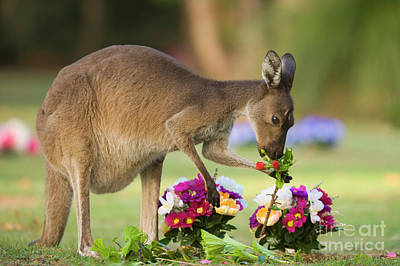 Photograph - Grey Kangaroo Eating Graveyard Flowers by Yva Momatiuk and John Eastcott