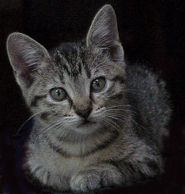 Gray Tabby Painting - Grey Kitten by Hollye Knox