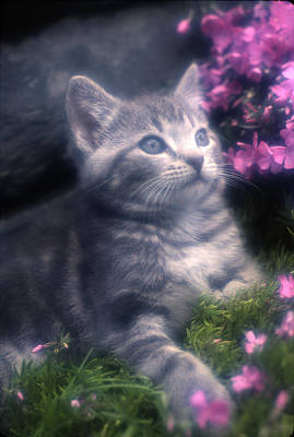 Photograph - Grey Kitten by Paul Miller