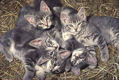 Photograph - Grey Kittens by Paul Miller