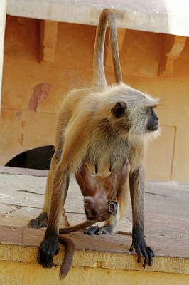 Amer Photograph - Grey Langurs by Heiti Paves